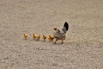 kana tibudega, linnufarm